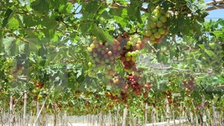 Young farmer makes fortune with grapes