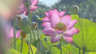Late lotus season in Da Nang city