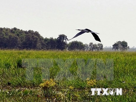 Over 2,000 rare storks come to reside in Tram Chim santuary
