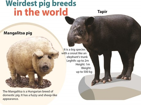 Weirdest pig breeds in the world | Vietnam+ (VietnamPlus)