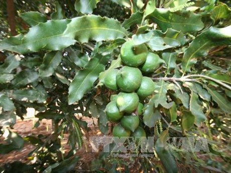 Quang Tri seeks to develop macadamia farming