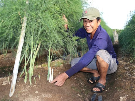 Green asparagus offers high profits for Ninh Thuan farmers