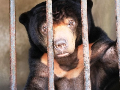 Sun bear rescued in Tay Ninh after 15 years in captivity