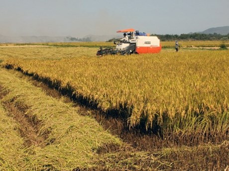 Dong Thap's rice output reaches over 3.3 million tonnes