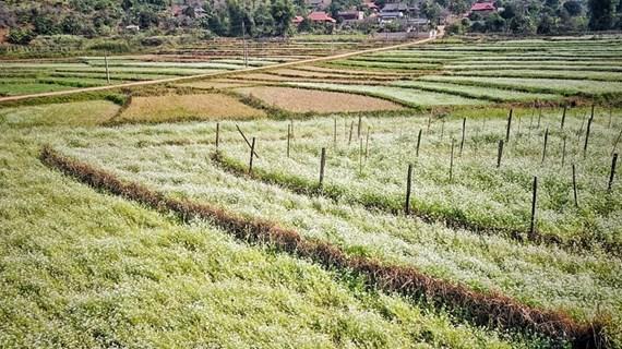 Breath-taking flower field in So Luon, Moc Chau