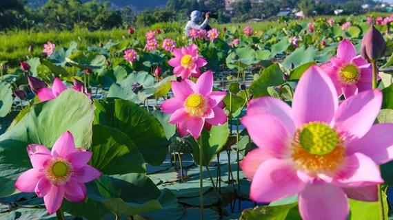 Lotus flowers in blossom in Da Nang city