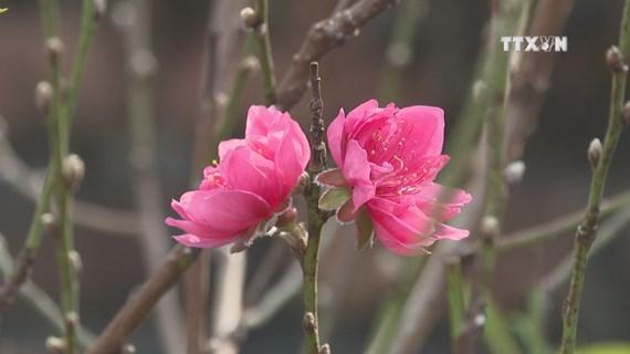 Phu Tho peach blossom village before Tet