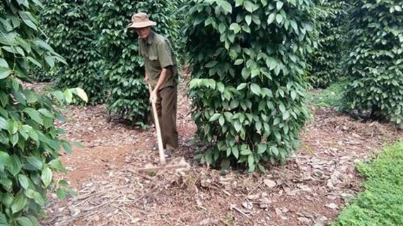 Ba Ria-Vung Tau targets sustainable pepper development
