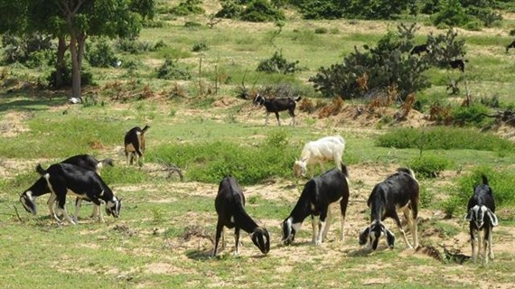 Ninh Thuan province finds goat farming lucrative to expand