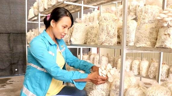 Mushroom farming brings prosperity in Bac Ninh