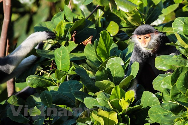 """Son Tra Peninsula – Green kingdom of """"Queen of primates"""" hinh anh 1"""