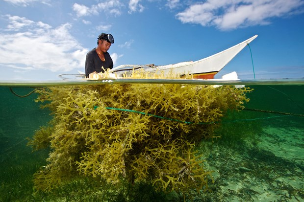 Indonesia among world's biggest seaweed producers hinh anh 1