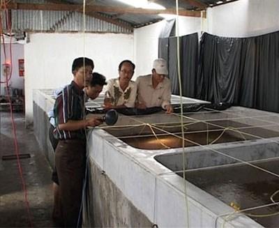 Ca Mau boosts clean breeding shrimp production hinh anh 1