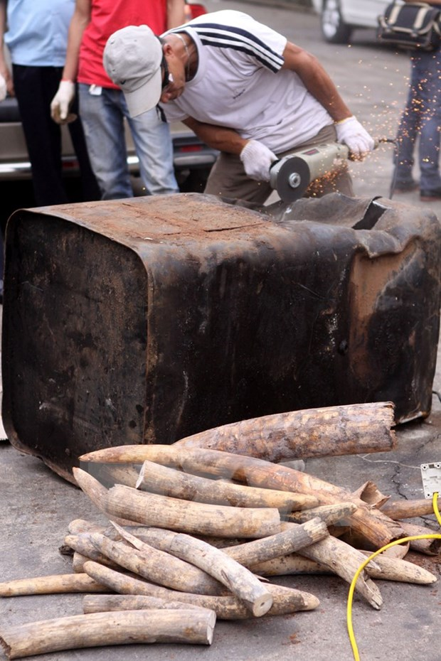 Smuggled ivory, rhino horns seized in Da Nang hinh anh 1