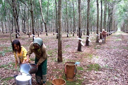 Vietnam's rubber industry needs bounce hinh anh 1