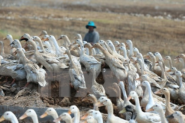 Ninh Thuan requested to enhance precautions against A/H5N1 hinh anh 1