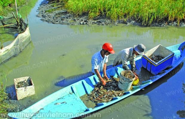 Ca Mau to expand VietGAP mixed rice-prawn farming areas hinh anh 1