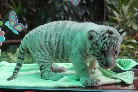 White tiger cubs on show to public hinh anh 1