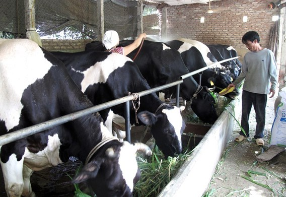 Vinh Phuc spends big on cow farms in Tam Dao hinh anh 1