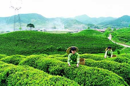 Thai Nguyen tea producers focus on domestic market hinh anh 1