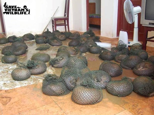 Pangolin threatened with extinction hinh anh 1