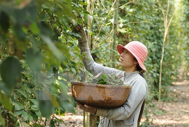Pepper export revenue enjoys steady growth hinh anh 1