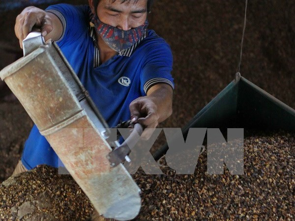 Dak Lak: Coffee output continues dropping hinh anh 1