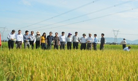 Japan, Vietnam develop new rice resistant to disease, bugs hinh anh 1