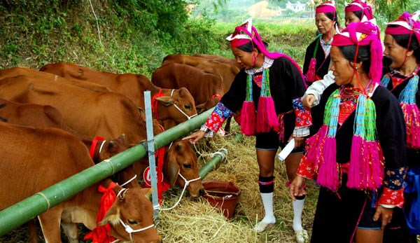 Binh Phuoc gives breeding cows to ethnic minority households hinh anh 1