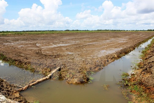 El Nino causes damage to 20,000 hectares of rice in Ca Mau hinh anh 1