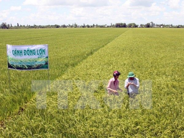 Ca Mau expands large-scale fields hinh anh 1