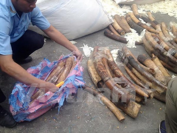Ivories, tusks seized at Noi Bai international airport hinh anh 1