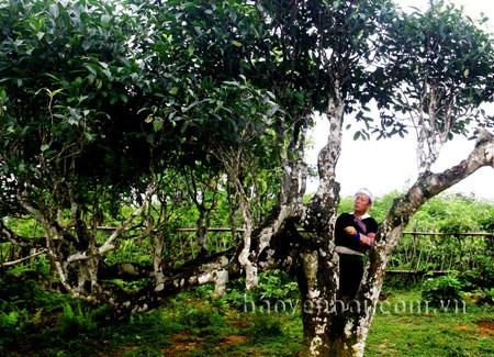 Yen Bai's ancient Shan tea becomes national heritage hinh anh 1