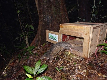 Sunda Pangolins released back into wild hinh anh 1