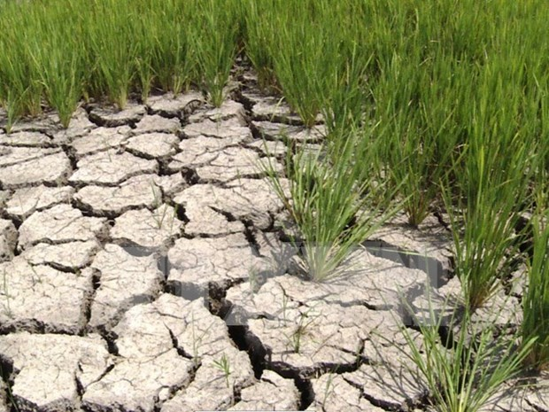 MARD gives financial support to drought, salinity recovery hinh anh 1