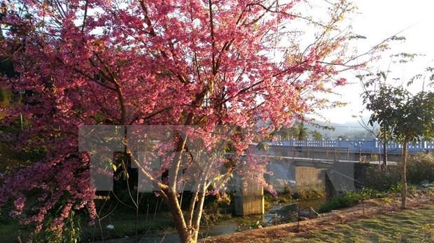 Japanese cherry trees take root in Da Nang hinh anh 1