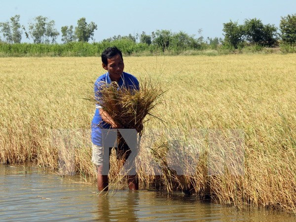 New saline-resistant rice varieties developed for Mekong Delta hinh anh 1