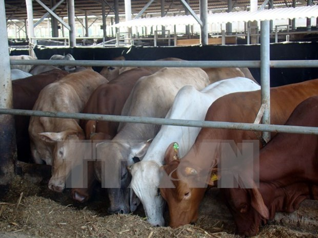 Quang Ninh licenses cattle farming project within three hours hinh anh 1
