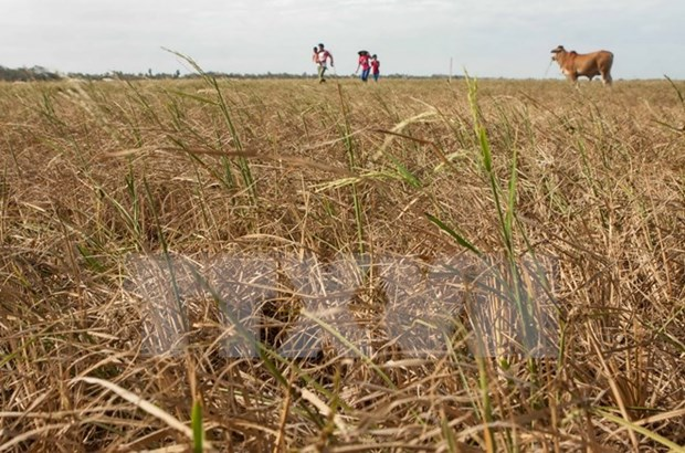 Mekong Delta farmers grapple with worst saline intrusion hinh anh 1