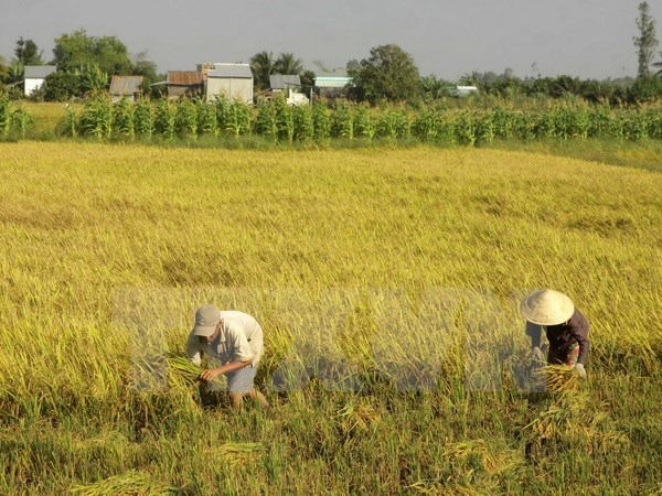 Over 3.76 million ha of land suggested be zoned for rice farming hinh anh 1