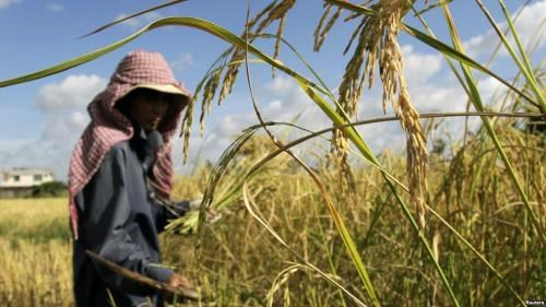 Cambodia: Rice yields drop slightly due to drought hinh anh 1