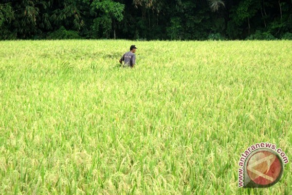 Indonesia targets to export rice to ten countries hinh anh 1