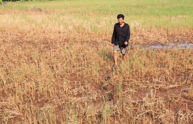 Climate change inflicts damage on rice in Mekong Delta provinces hinh anh 1