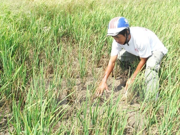 Drought causes loss of 4 million USD in Khanh Hoa hinh anh 1