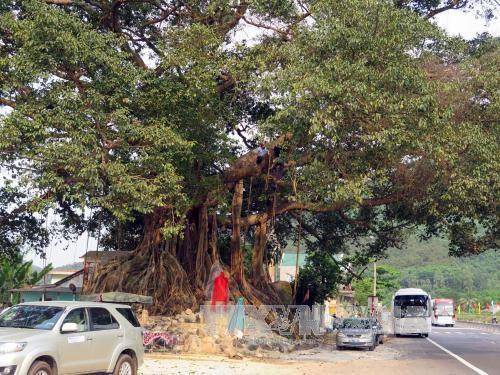 Ancient banyan in Thua Thien–Hue named heritage tree hinh anh 1