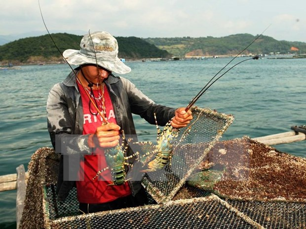 Lobster farming to become key economic sector in central region hinh anh 1
