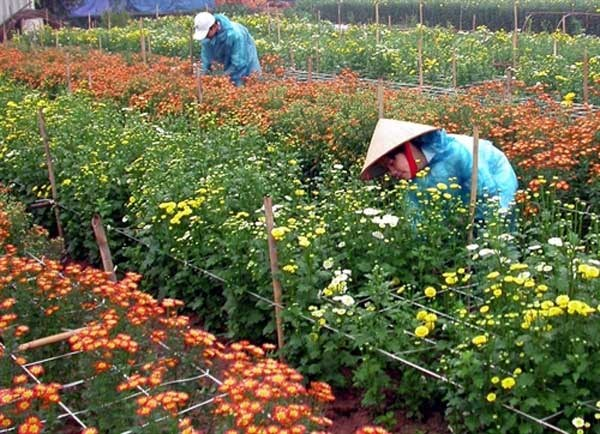 Hanoi farmers reap reward of higher-quality flowers hinh anh 1