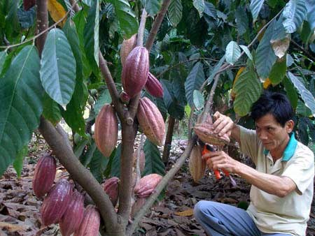 Vietnam to increase cacao area to 50,000 hectares by 2020 hinh anh 1