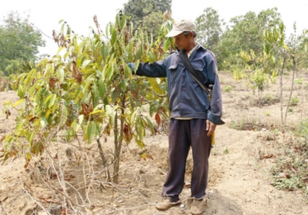 Drought takes toll on coffee plantation in Central Highlands hinh anh 1