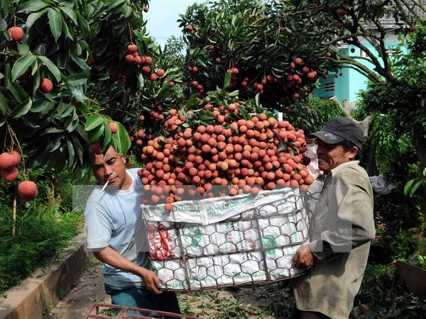 Bac Giang seeks to boost lychee consumption hinh anh 1